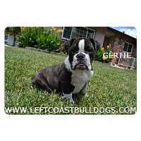 Sweet Bulldog Puppy For Sale In Northern California English Bulldog for sale/adoption