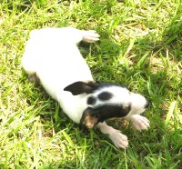 Rat Terrier Dogs and Puppies for Adoption