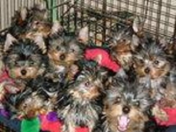 Yorkies Make Your Heart Pleasing one of my puppies