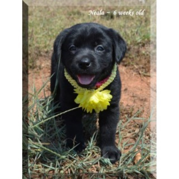 AKC Black Female Lab Puppy