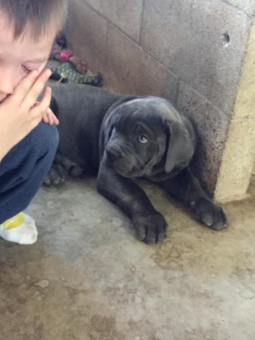 Cane Corso Puppy Dog For Sale In Mohave Valley Arizona