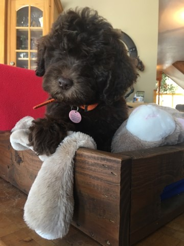 Poodle Standard puppy dog for sale in Pequot Lakes, Minnesota