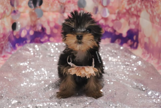 Yorkshire Terrier puppy for sale + 60106