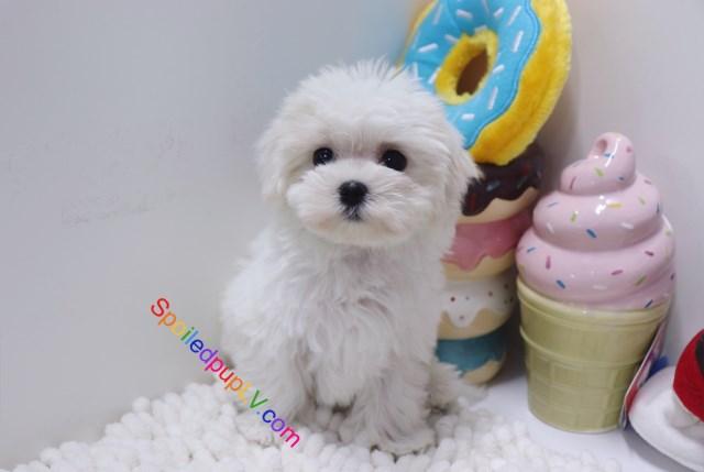Maltese Puppy Dog For Sale In Las Vegas Nevada