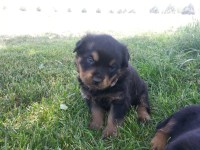AKC German Rottweiler Puppies - Ready October 6th Rottweiler for sale/adoption