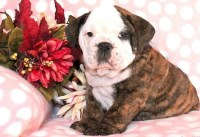 Say hello to Hayden, he is a gorgeous English Bulldog puppy. English Bulldog for sale/adoption