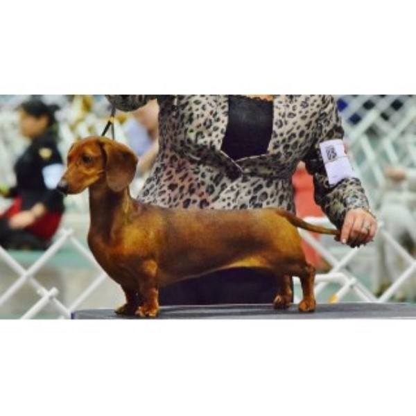AKC Standard Dachshund Puppies From Show Lines