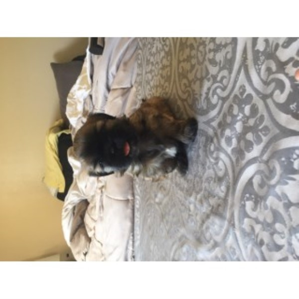 Shih Tzu Puppies Looking For A New Home!