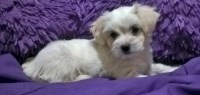 Pekingese Dogs and Puppies for Adoption