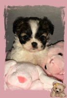 Shih Tzu Dogs and Puppies for Adoption