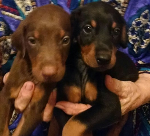 Dachshund Puppies Amarillo Tx