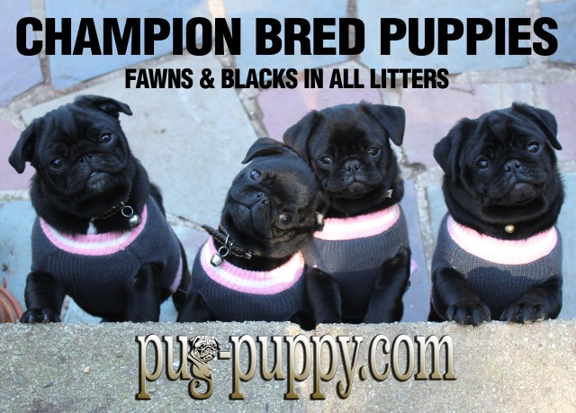 Pug puppy for sale + 53436
