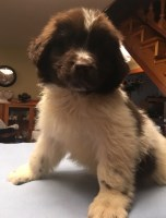 Pure Landseer Newfoundland puppies for sale Newfoundland Dog for sale/adoption