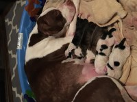 Staffordshire Terrier puppies for sale Staffordshire Bull Terrier for sale/adoption