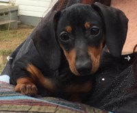 Dachshund Puppies And Dogs For Sale In Tennessee