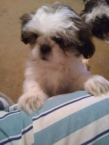 Shih Tzu puppy for sale + 54636