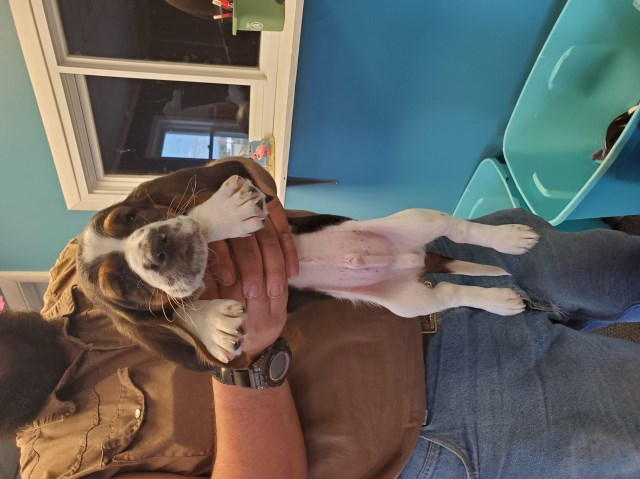 Basset Hound Puppy Dog For Sale In Bedford Indiana