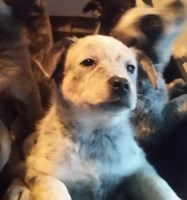 Australian Cattle Dog Puppies and Dogs for Sale in Idaho
