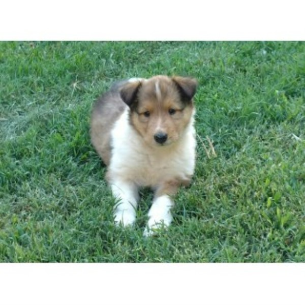 Collie Puppies, Lassie Type