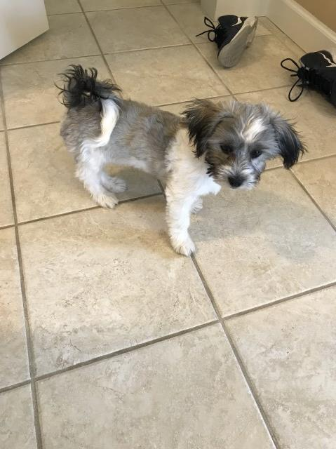 Havanese puppy dog for sale in Mpumalanga South Africa