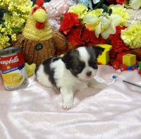 Chihuahua Long Coat Puppies Litter trained CKC/AKC REG PB Chihuahua for sale/adoption