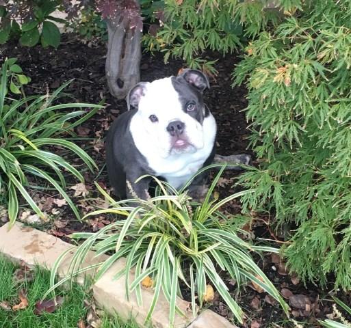 English Bulldog Puppy Dog For Sale In Tulsa Oklahoma