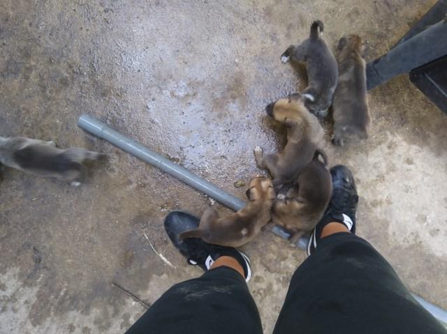 German Shepherd Dog Puppy Dog For Sale In San Antonio Texas