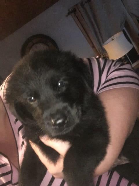 German Shepherd Dog Puppy Dog For Sale In Utica New York