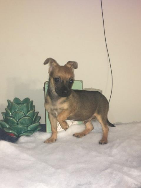 Chihuahua puppy for sale + 61414