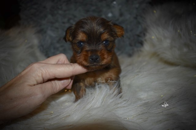 Yorkshire Terrier puppy for sale + 55162