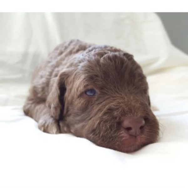 F1b Aussiedoodle Male Puppy