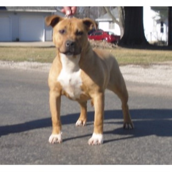 Ukc American Pit Bull Terrier Puppies