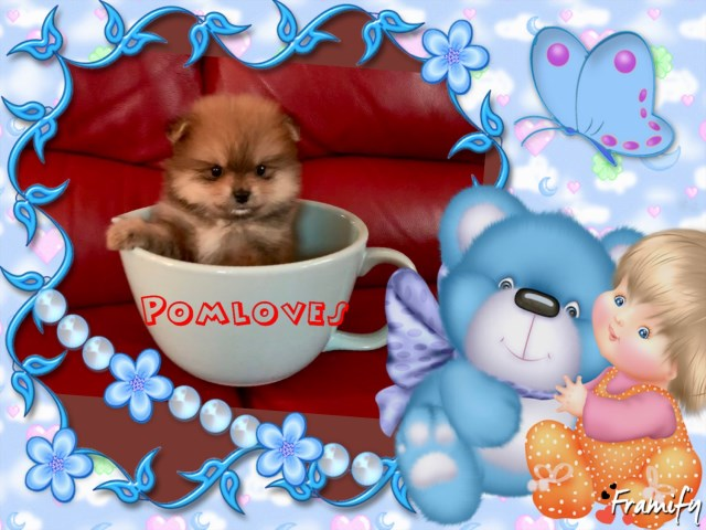 Pomeranian puppy for sale + 55607
