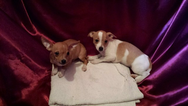 Chihuahua puppy for sale + 47391