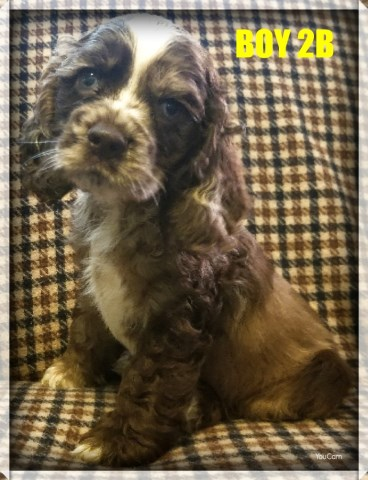 Male and female cocker spaniels 4 sale