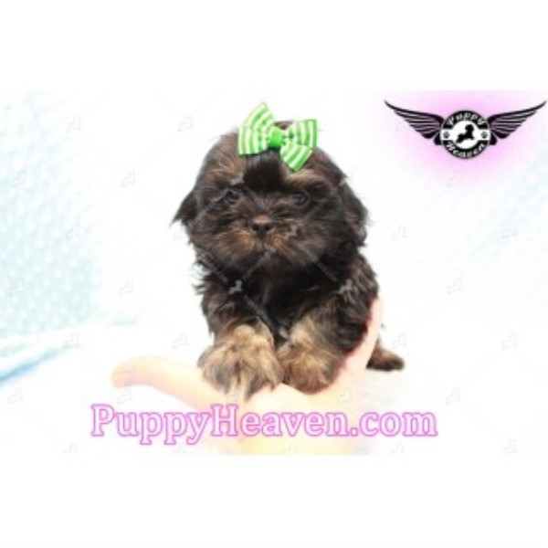 Cute Tiny Teacup & Toy Shihtzu Puppies In Las Vegas!
