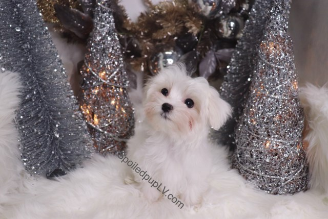 Maltese puppy for sale + 54585