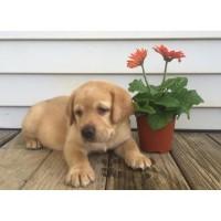 Labrador Service Dog Adoption Massachusetts