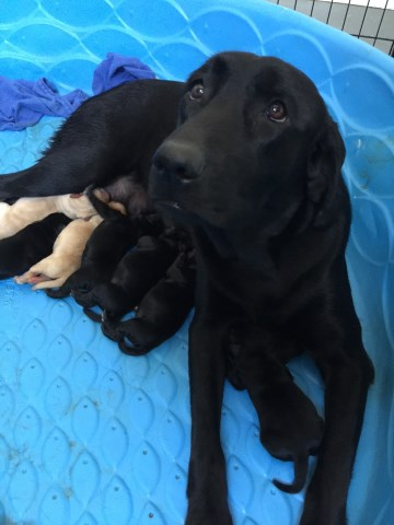 Labrador Retriever Puppy Dog For Sale In Punta Gorda Florida