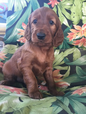 Irish Setter Puppies for Sale-Virginia