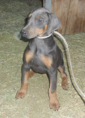 Doberman Pinscher puppy for sale + 54990