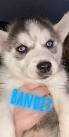 Siberian Husky puppy for sale + 59799
