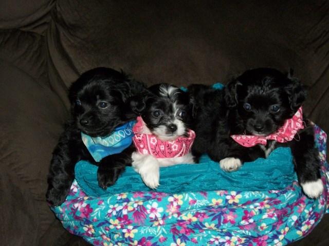 Pekingese puppy dog for sale in JACKSON, Kentucky