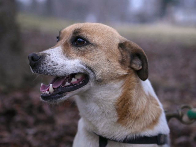 Caramel - Jack Russell Mix