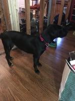 Labrador retriever mix Labrador Retriever for sale/adoption