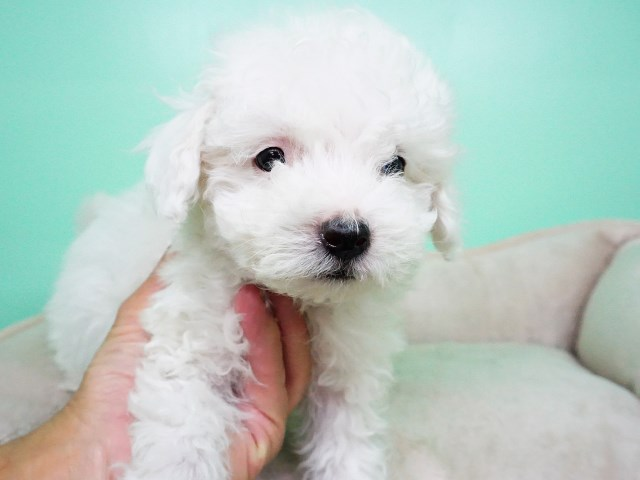 Maltipoo Puppy – Male – Jerry ($800)