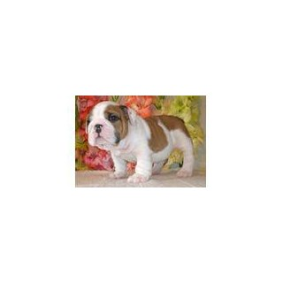 Home Trained English Bulldog Puppies Contacet 714 517-1093