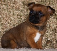 Brussels Griffon Dogs and Puppies for Adoption