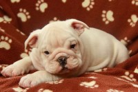Suttler is an English Bulldog pup that has come from a well raised litter English Bulldog for sale/adoption