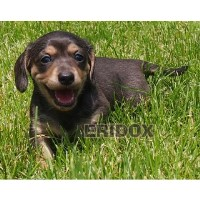 Faux Blue & Cream Smooth Dapple Brindle AKC Dachshund Puppy Dachshund for sale/adoption
